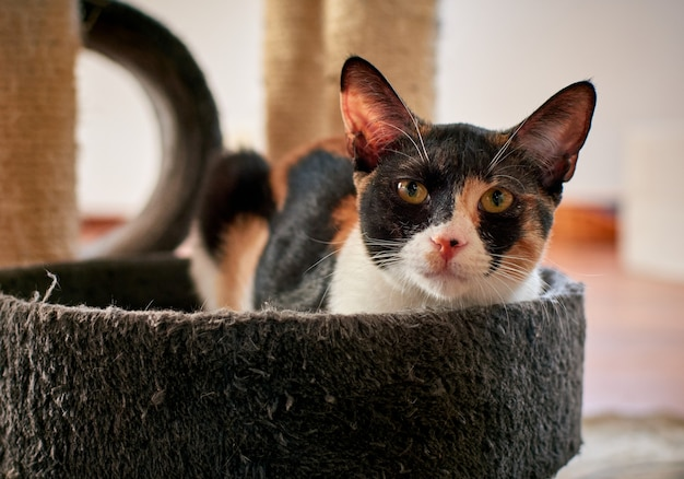 Toma de enfoque selectivo de un gato blanco y negro con manchas doradas acostado en una cama para gatos