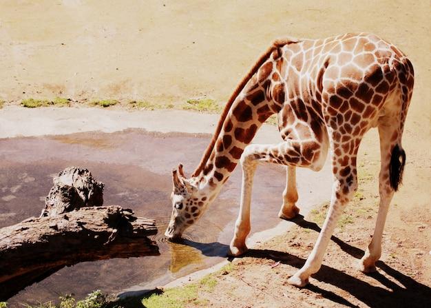 Toma horizontal de una jirafa bebiendo agua en el recinto de animales africanos