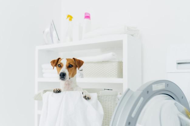 Toma interior del perro de pedigrí en el cesto de la ropa, se ve en la distancia