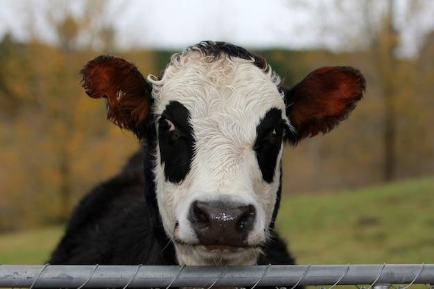 Toma de primer plano horizontal de una vaca en blanco y negro en el pasto