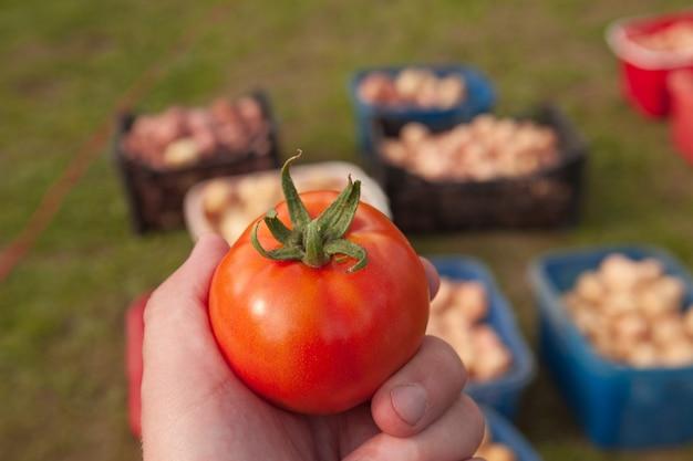 Tomate fresco de tamaño gris en la mano de un hombre después de la cosecha en otoño. de cerca.