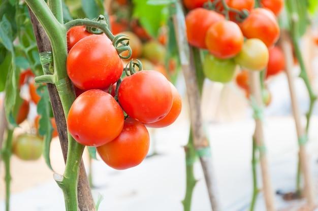Tomates cherry frescos en el jardín