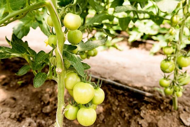 Tomates cherry en invernadero