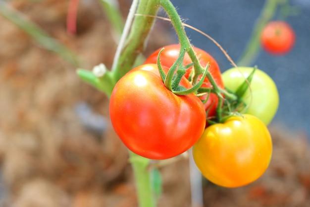 Los tomates frescos en el concepto de árbol de producto agrícola y agricultura