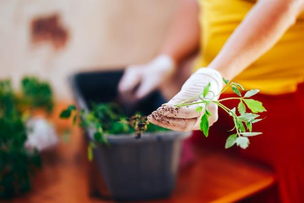 Tomates plántulas en las manos con guantes mantener el brote se va a plantar en una maceta de plástico, transporte antes de sembrar en el exterior