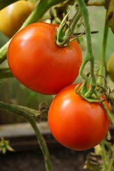 Tomates rojos que crecen en la rama en el jardín de su casa, primer plano