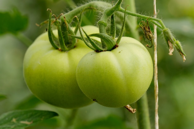 Tomates verdes en el jardín, de cerca