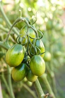 Tomates verdes en el jardín