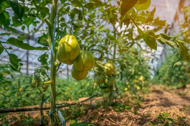 Los tomates verdes orgánicos maduran en un invernadero. cultivo de vegetales sin productos químicos, alimentos saludables
