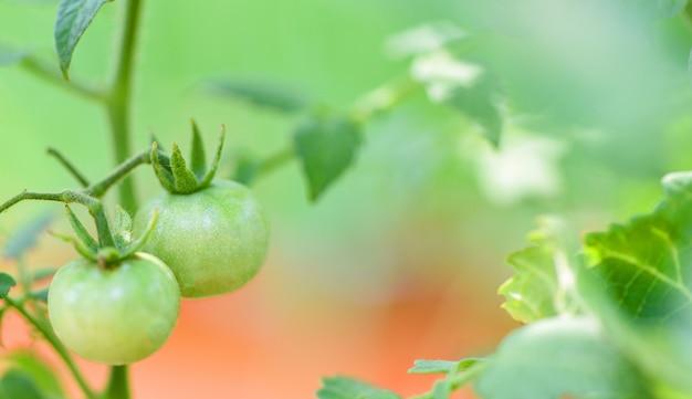 Tomates verdes en la planta
