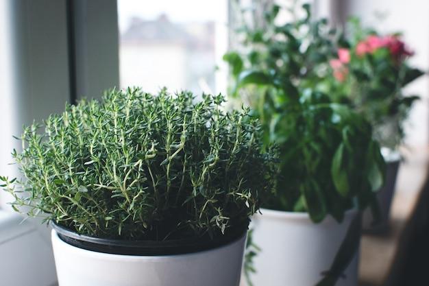 Tomillo, albahaca y otras hierbas en el alféizar de la ventana
