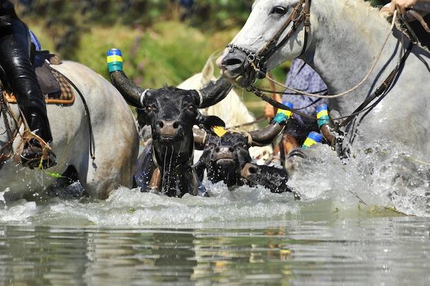 Toro y caballos en el agua