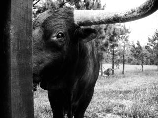 Toro, ojos