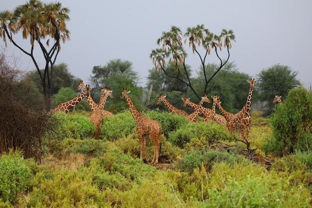 Torre de jirafas reunidas alrededor de arbustos en un bosque abierto