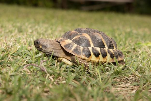 Una tortuga de bosques caminando sobre una hierba verde