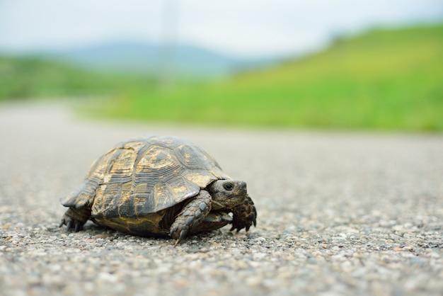 Tortuga caminando por el camino