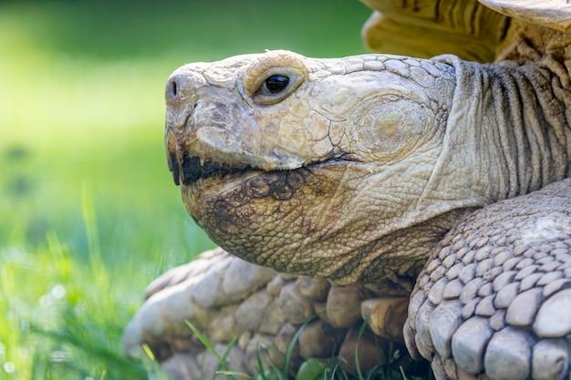 Tortuga con espuelas africana, también llamada tortuga sulcata