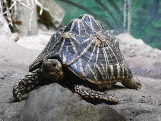Tortuga estrella india