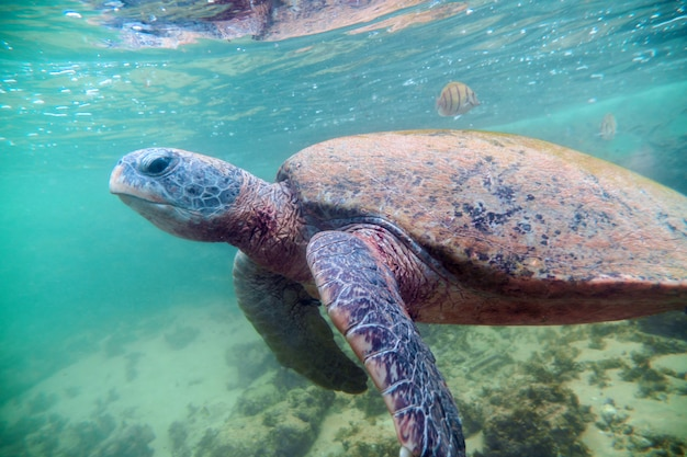 Tortuga marina gigante bajo el agua.