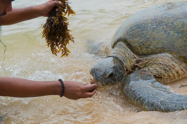 La tortuga marina gigante emergió en aguas poco profundas y un hombre la alimenta con algas.