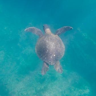 Tortuga marina nadando bajo el agua, tagus cove, isla isabela, islas galápagos, ecuador