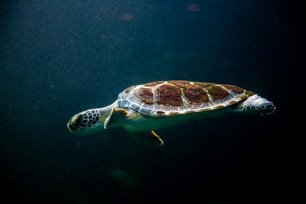 Tortuga nadadora en mar de agua de mar oscuro