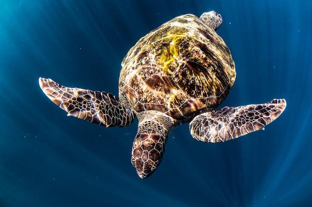 Tortuga nadar en el mar azul