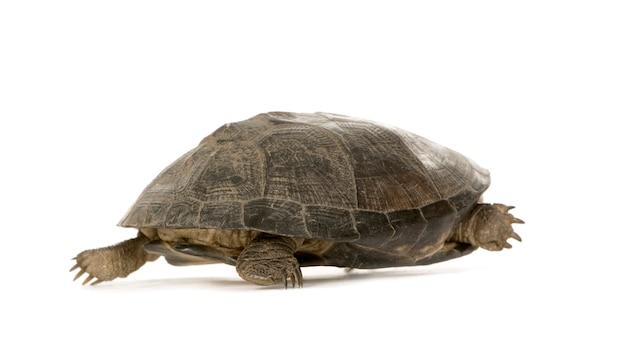 Tortuga - pã © lusios subniger aislado
