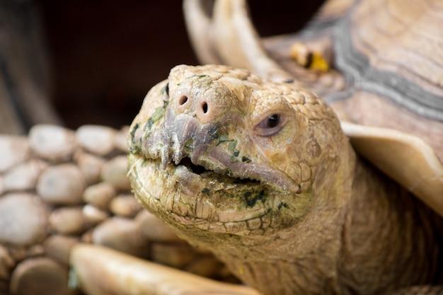 La tortuga sulcata está en la naturaleza.