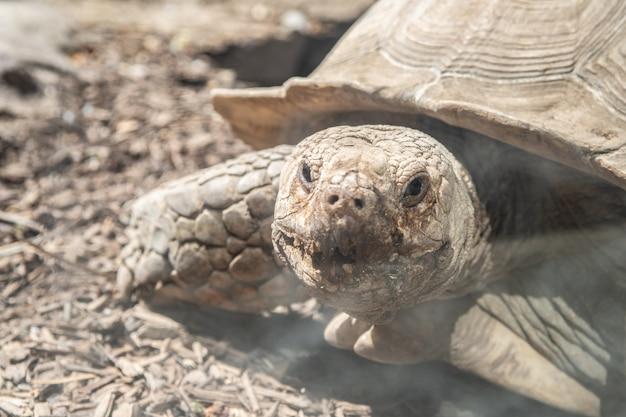 Tortuga de tierra mirando fijamente, tortuga grande protegida linda