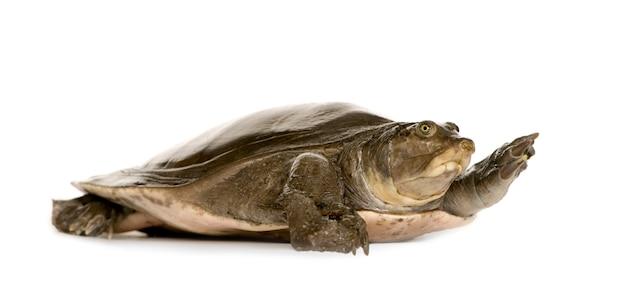 Tortugas de caparazón blando - familia: trionychidae aislado