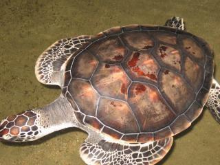 Tortugas, las fosas nasales