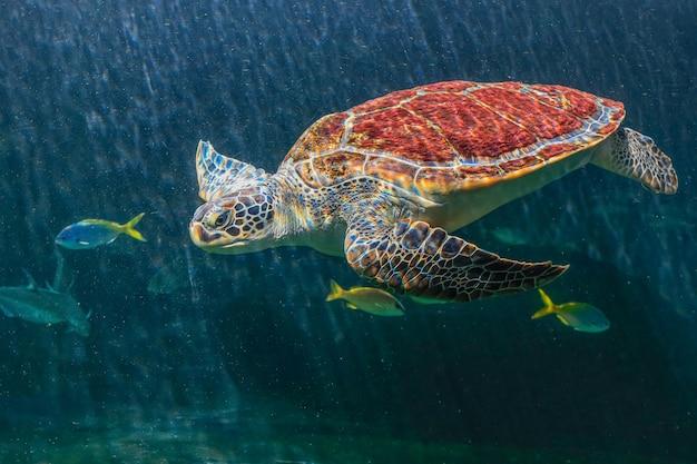 Las tortugas marinas en un acuario están nadando