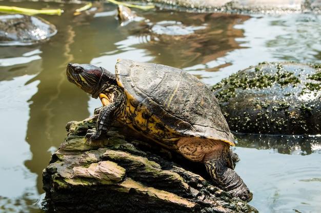 Tortugas tomando el sol en el estanque, tortugas de agua dulce