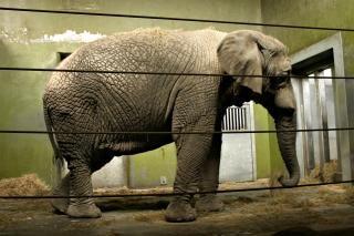 Totalmente crecido elefant
