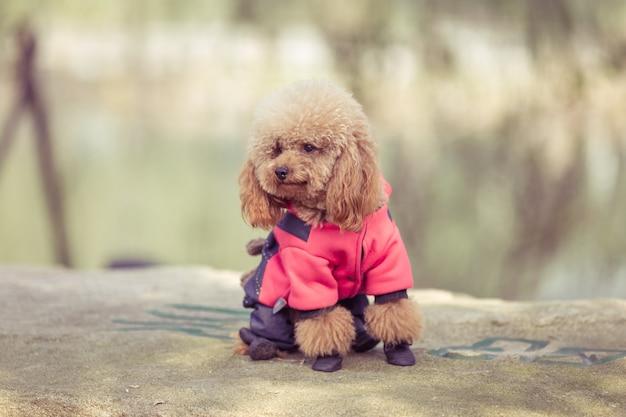 Toy poodle jugando en un parque