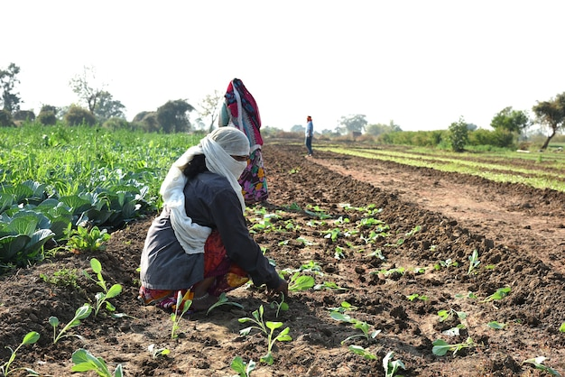 Trabajador agrícola indio no identificado plantando repollo en el campo y sosteniendo un manojo de pequeña planta de repollo en las manos en la granja orgánica.