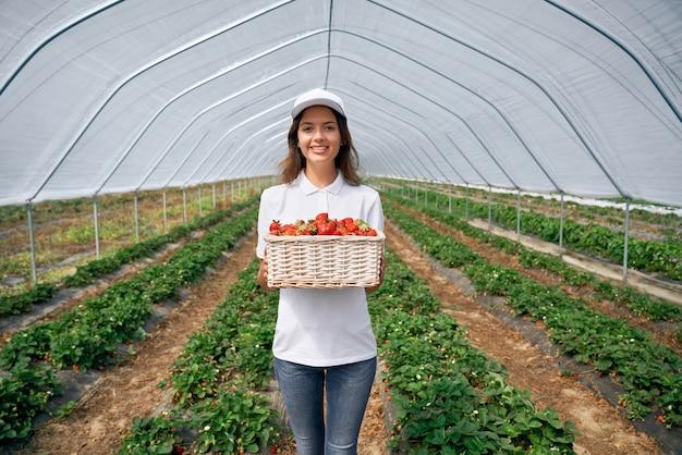 Trabajador de campo hermoso está recogiendo fresas en invernadero