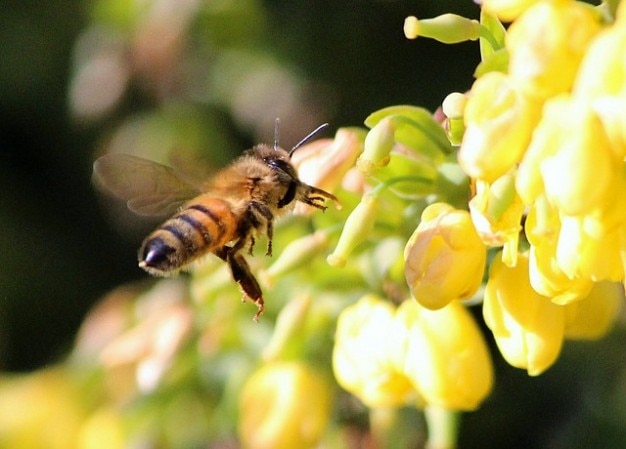 Trabajador néctar las abejas de miel polinizan una picadura de insecto