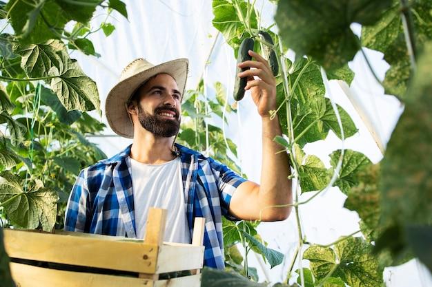 Trabajador recogiendo pepinos y preparándose para la venta en el mercado