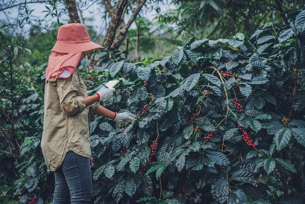 Las trabajadoras están escribiendo un registro del crecimiento de los cafetos. agricultura, huerto.