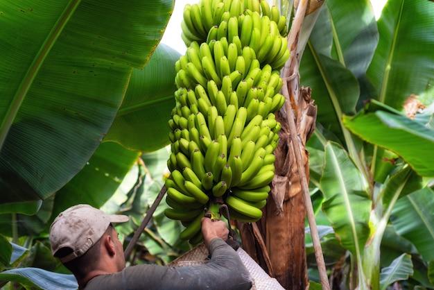 Trabajadores que cortan un racimo de plátanos en una plantación en tenerife, islas canarias, españa.