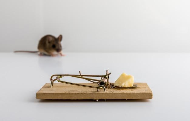 Trampa para ratones con cebo de queso y un pequeño ratón de madera, apodemus sylvaticus, fuera de foco,