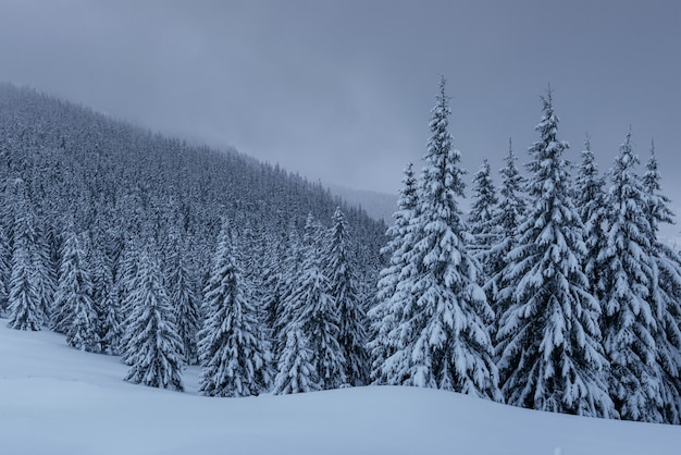 Una tranquila escena de invierno. abetos cubiertos de nieve están parados en la niebla. hermoso paisaje al borde del bosque. feliz año nuevo