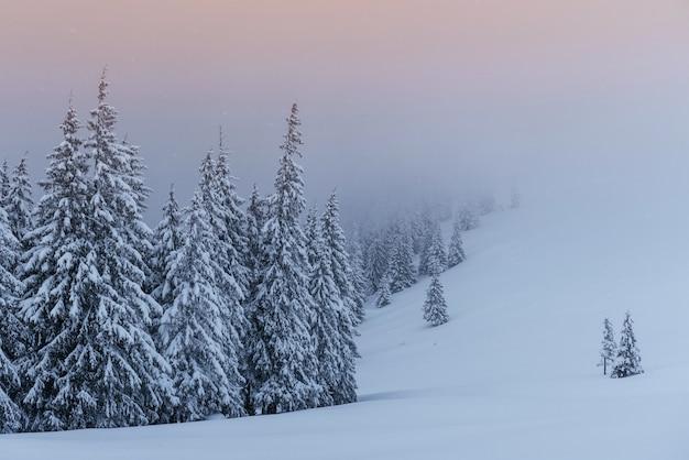 Una tranquila escena de invierno. abetos cubiertos de nieve están parados en la niebla. hermoso paisaje al borde del bosque.