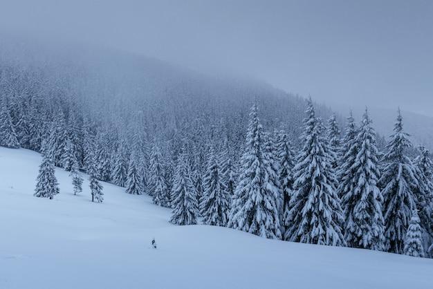 Una tranquila escena de invierno. abetos cubiertos de nieve están parados en la niebla.