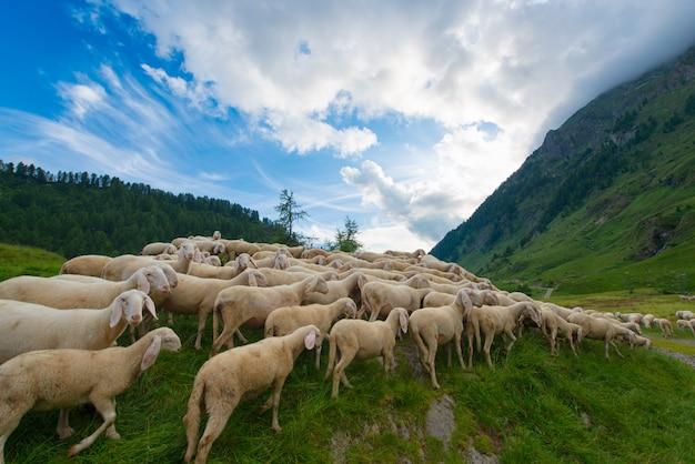 Trashumancia de ovejas en las montañas