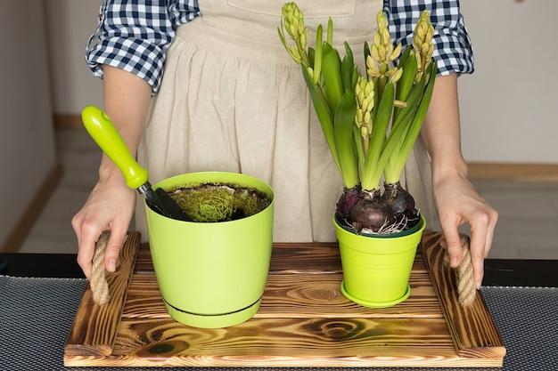 Trasplante de bulbos de jacinto en una maceta nueva, jardinería de primavera en casa