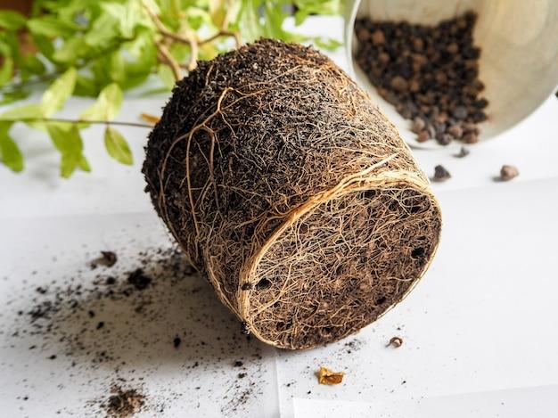 Trasplante de plantas estacionales. raíces de plantas sanas. transplante la granada.
