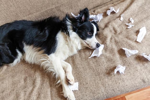 Travieso juguetón cachorro border collie después de travesuras mordiendo papel higiénico tumbado en el sofá en casa. perro culpable y sala de estar destruida. daño a la casa desordenada y al cachorro con una divertida mirada culpable